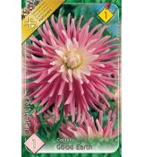 Dahlia Cactus - Good Earth