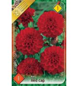 Dahlia Ball - Red Cap