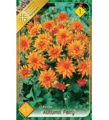 Dahlia Border - Autumn Fairy