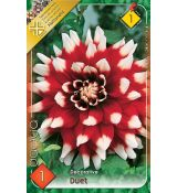 Dahlia Decorative - Duet