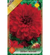 Dahlia Decorative - Garden Wonder