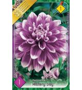 Dahlia Decorative - Mistery Day