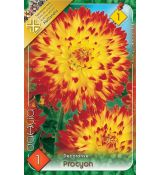 Dahlia Decorative - Proycon