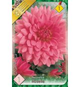 Dahlia Decorative - Rosela