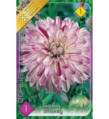 Dahlia Decorative - Smokey