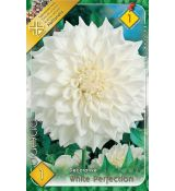 Dahlia Decorative - White Perfection