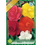 Begonia double large - Mixed