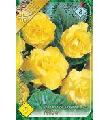 Begonia double large - Yellow