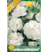 Begonia double large - White