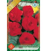 Begonia double large - Red
